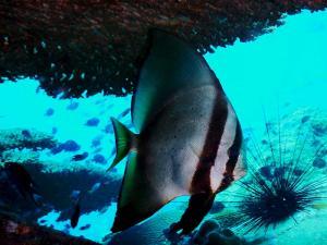 divecambodia-Long-fin-bat-fish